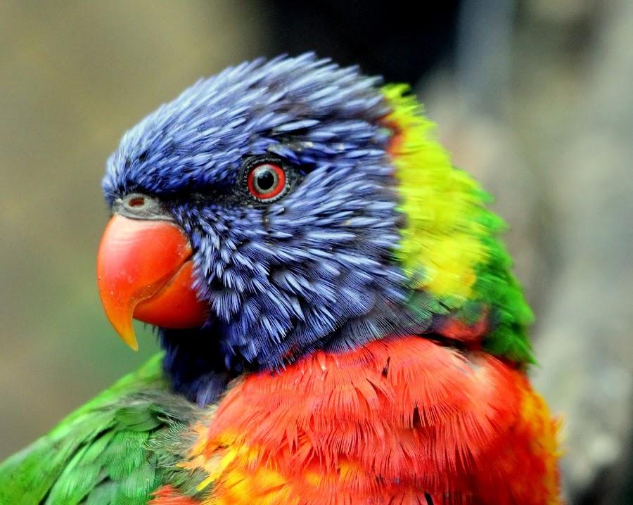 Lorekeet by Ralph Harvey - Animals Birds ( bird, wildlife, bristol zoo, ralph harvey, lorikeet,  )