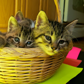 Just Hanging out by Catherine Trudeau - Animals - Cats Kittens