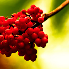 Red berries by Foto Grebeči - Nature Up Close Other plants ( red, summer, slovakia, light )