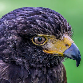Havik by Wilko Grob - Animals Birds ( photograpy, rijssen, bird of prey, nature, wildlife, grob )