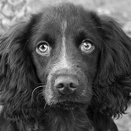 What A Stare! by Chrissie Barrow - Black & White Animals ( monochrome, spaniel, black and white, pet, pup, ears, dog, nose, mono, eyes, animal )