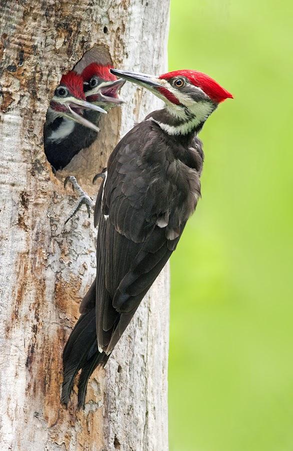 Pileated Woodpecker Family by Rachel Bilodeau - Animals Birds