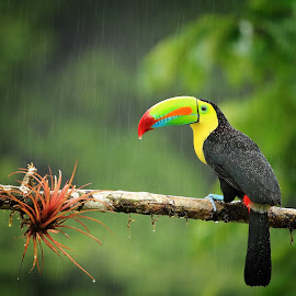 Keel-billed toucan by Tadas Jucys - Animals Birds ( wild, keel-billed toucan, colorful, lush, green, beautiful, toucan, forest, yellow, travel, bird, billed, cyan, red, beak, drops, costa rica, twig, keel, natural, rain )