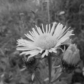 Цвете by Georgi Kolev - Black & White Flowers & Plants ( треви., цвете., светлина., време., поляна. )
