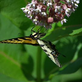 Butterfly Upside Down  by Larry Bidwell - Animals Insects & Spiders