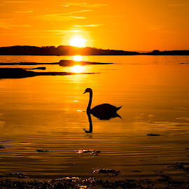 Lonely swan by Ronny Svendsen - Landscapes Sunsets & Sunrises ( water, orange, d750, sunset, swan, sun, norway )