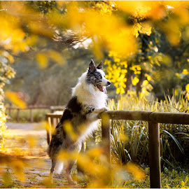 Let's see what will Autumn bring...  by Maja Lesar - Animals - Dogs Portraits ( nature, dogs, animal, autumn, border collie, park, pet,  )