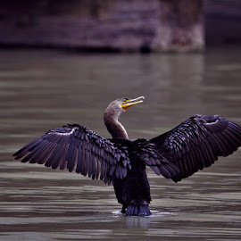 Neotropic Cormorant in the Rio Grande Valley of Texas by Cosmo Tamayo - Novices Only Wildlife ( neotropic cormorant, san benito, resaca city, texas, awesome fishermen )