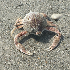 Crab  by Mandy Cole - Animals Sea Creatures