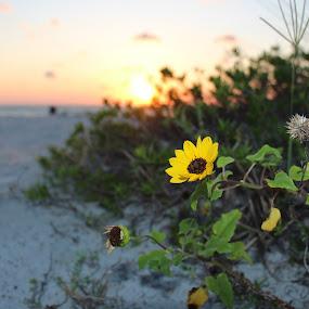 Brown Eyed Susan at sunset... by William Rhodes - Flowers Single Flower ( sunset, beautiful, brown eyed susan, beach, flower )