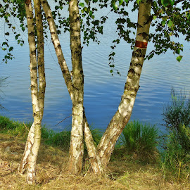 BIRCH-TREES by Wojtylak Maria - Nature Up Close Trees & Bushes ( birch, nature, summer, trees, pond )
