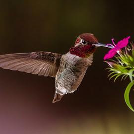 hummy  by Shane R Fairburn - Animals Birds ( bird, flight, flying, hummingbird, flowers, feathers, hummer )