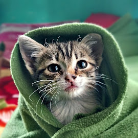Kitten getting cozy by Reggie Nongsiej - Animals - Cats Kittens
