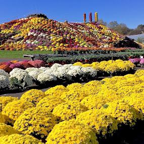 Ott's Mum Garden by Joe Fazio - Flowers Flower Gardens ( flowers, gardens, fall, plants, garden, mums )