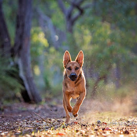 Dust storm by Kelly Pilgrim-Byrne - Animals - Dogs Running ( dogs running )