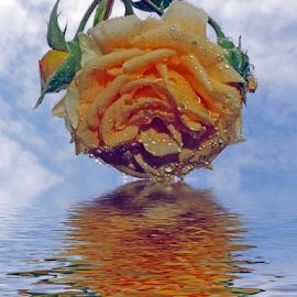 beatiful rose by LADOCKi Elvira - Digital Art Things ( nature, color, flowers, garden )