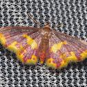 Marroon & Yellow Geometrid Moth 1