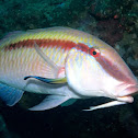 Dash-Dot Goatfish
