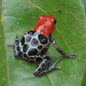 Reticulated Dart Frog, Red-backed Poison Frog
