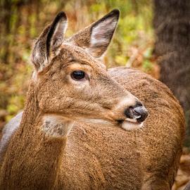 oh my deer by Lennie Locken - Animals Other Mammals
