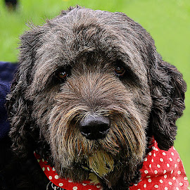 Best in Show by Chrissie Barrow - Animals - Dogs Portraits ( spots, labradoodle, white, rough, portrait, eyes, red, bandana, pet, ears, fur, brown, grey, dog, nose )