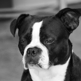 Boxer by Leslie Hendrickson - Animals - Dogs Portraits ( black and white, boxer dog, dog portrait, dog )