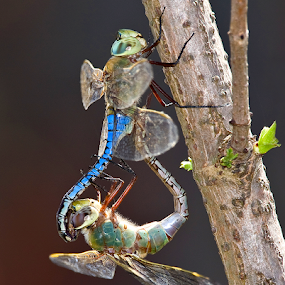 Mating Darners by Herb Houghton - Animals Insects & Spiders ( odes, mating, dragonflies )
