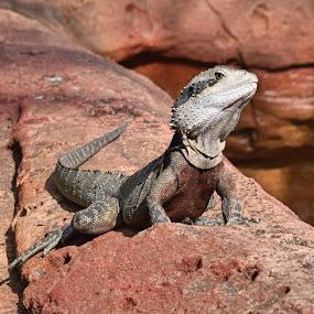 Strike a pose... Vogue  by Amanda Daly - Animals Reptiles (  )
