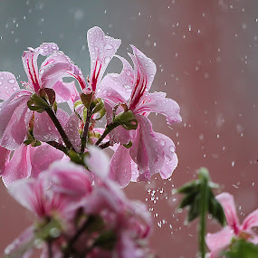 Rain by Гојко Галић - Nature Up Close Flowers - 2011-2013 ( smell, field, rose, drops, rain, flower )