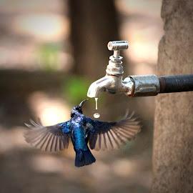puruple sun bird by Amit AT - Animals Birds