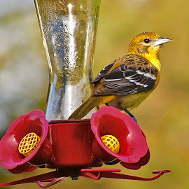 Female Oriole on Feeder by Doug Wean - Animals Birds ( close up, oriole, baltimore oriole, nature, feathers, bird, nature up close, yellow, birds )