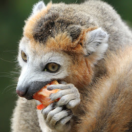 Crown Lemur by Ralph Harvey - Animals Other Mammals ( wildlife, lemur, ralph harvey, bristol zoo, animal )