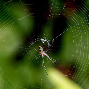 Hanging  by Maha Khan - Animals Insects & Spiders ( pakistan, animals, macro, nature, spider )