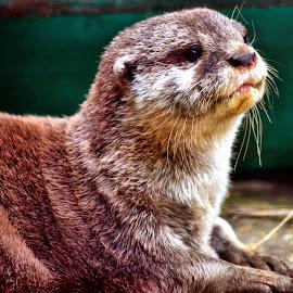 otter chilling by Nic Scott - Animals Other Mammals ( otter, animal )