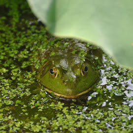 Frogger by Eric Lovell - Animals Reptiles