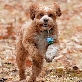 Lenny come!!! by Steven Liffmann - Animals - Dogs Running ( happy, puppy, cavapoo, dog, running )