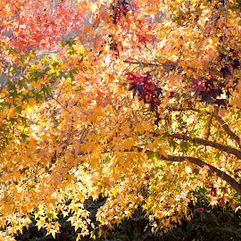 Blazing Maple by Carole Pallier  - Nature Up Close Trees & Bushes ( pretty, mapletree, tree, golden, season, autumn, park )