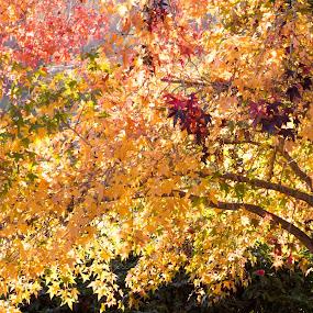 Blazing Maple by Carole Pallier  - Nature Up Close Trees & Bushes ( pretty, mapletree, tree, golden, season, autumn, park )