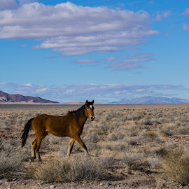Wild Horse at Death Valley Junction by Jose Matutina - Animals Horses ( death valley, sel55210, junction, wild, mountains, equine, horses, california, sony a6000 )