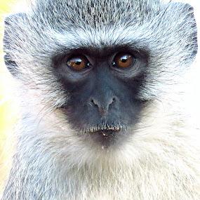 Monkey Portrait  by Pieter J de Villiers - Animals Other ( mammals, animals, south africa, vervet monkey, marekela national park )