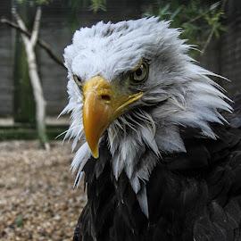 Grumpy Bonnie by Garry Chisholm - Animals Birds ( bird, garry chisholm, nature, bald eagle, wildlife, prey )