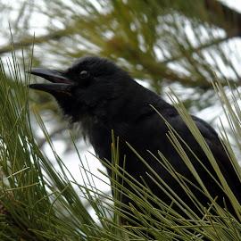 CAWW CAWW by Cynthia Dodd - Novices Only Wildlife ( bird, nature, tree, wildlife, birds, black, animal )