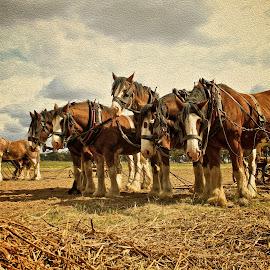 Working Horses  by Kathryn Potempski - Animals Horses ( farm, four legs, equine, horses, working horses, digital art, digital manipulation, harness, brown, team, digital painting, landscape, digital photography )