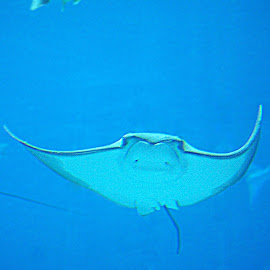 Sting Ray by Christy Stanford - Animals Sea Creatures ( water, underwater, creature, sea, ocean )