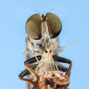 Robberfly by Asher Lwin - Animals Insects & Spiders ( macro, nature, prey, closeup, robberfly )