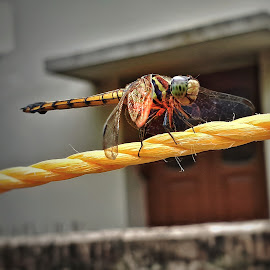 Domestic Guest by Rajat Sen - Animals Insects & Spiders ( fly, mobilography, macro photography )
