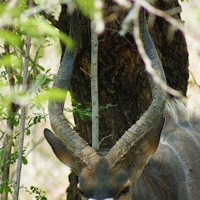 Antelope by Jason C Robinson - Animals Other ( close up, africa, antelope, closeup, horns, wildlife )