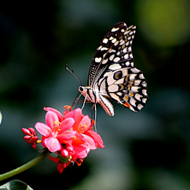 Wild Flowers by Vivek Sharma - Animals Insects & Spiders ( vivekclix, wild, butterfly, nature, vivek, beauty in nature, flower,  )