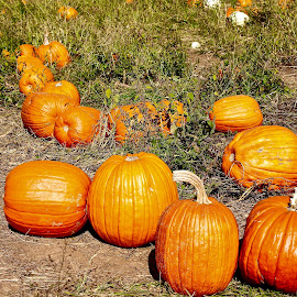 Pumpkins patch. by Peter DiMarco - Public Holidays Halloween ( pumpkin patch, nature, pumpkin, pumpkins, nature up close )