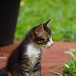 kitty by Chinthaka Warnakulasooriya - Animals - Cats Kittens ( lankan, cnwphitgraphy, pixoto, nice, kitty )